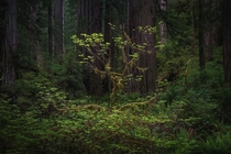 Small Tree Catching Light in The Redwood Forest USA