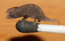 Smallest chameleon Brookesia Micra wonder how we found it