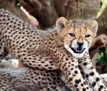 Smile  Cheetah Acinonyx jubatus
