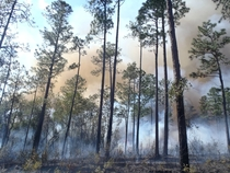 Smoldering Long-Leaf Pine Forest