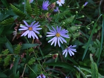 Smooth Aster Symphyotrichum laeve