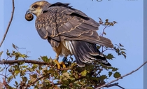 Snail Kite - with Lunch Closeup x OC