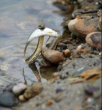 Snake with fish