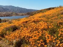 Snapped this pic of the Superbloom In Walker Canyon CA