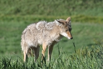 Sneezing coyote at Yellowstone NP