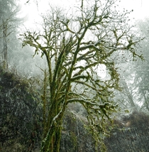 Snow and moss covered tree at Silver Falls State Park Oregon