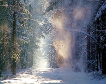 Snow being blown off a tree on a forest path  Photographed by Jacek Magryta