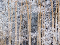 Snow-covered aspens near Taos New Mexico Michael Melford