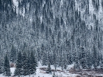 Snow Covered Forest Aspen OC