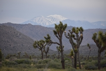 Snow-covered Mount San Gorgonio rises up above the desert of Joshua Tree National Park