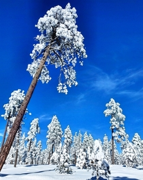 Snow Covered Ponderosa Pines of the Mogollon Rim near Payson AZ OC x