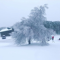 Snow-covered tree in Mt Buller Victoria Australia