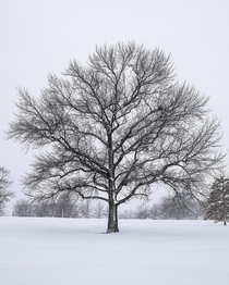 Snow Covered Tree - Winter Wonderland - Maryland