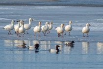 Snow Geese out for a stroll on the icy edge