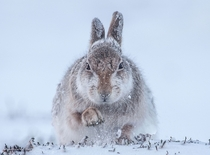 Snow Hare    Monadhliath Mountains Cairngorms Scotland United Kingdom    Photographed by Rosamund Macfarlane