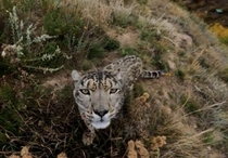 Snow Leopard checking out a trail cam