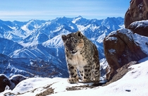 Snow Leopard in the Himalayas