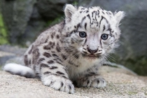 Snow leopard kit