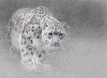 Snow Leopard Panthera uncia at the Wildlife Heritage Foundation in Kent  photo by Sue Demetriou