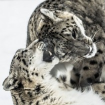 snow leopards play