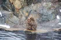 Snow monkeys huddling for warmth at Jigokudani park Japan