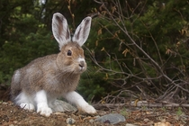 Snowshoe Hare Photographer Tom Reichner