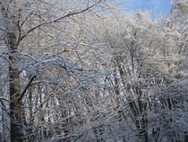 Snowy branches under a blue Canadian sky