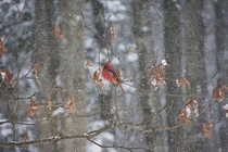 Snowy cardinal on a branch Saratoga Springs NY