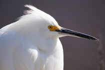 Snowy Egret Egretta thula at Shoreline Lake CA