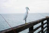 Snowy egret striking a pose at a pier in CA