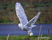 Snowy Owl Bubo scandiacus by Christian Sasse