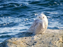 Snowy Owl Bubo scandiacus on the beach in Rhode Island