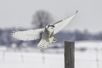 Snowy Owl coming in for a landing