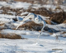 Snowy Owl in flight Photo credit to KiKiPosting