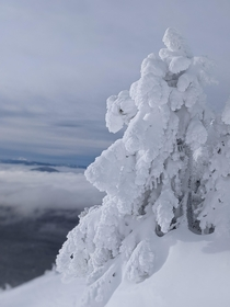 Snowy tree at Mt Bachelor in Oregon today