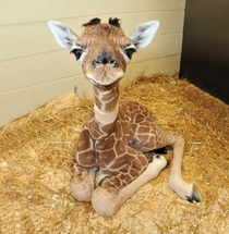 So Cute Baby Giraffe