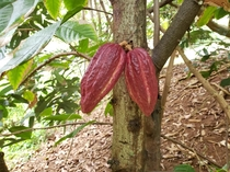 So I live in hawaii and am new to all the fruiting species here My question what type of cocoa is this what is the best way to germinate it and how do I tell when its okay to harvest Thanks