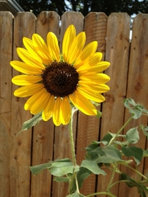so my dad NEVER planted sunflower seeds yet these beauties pop up all over his house EVERY summer