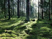 Soft morning light in a Swedish forest