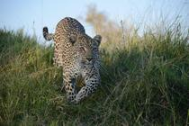 Solencia the Leopard Panthera pardus stalking unseen prey