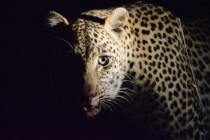 Solencia the night stalker Panthera pardus At the Sabi Sands reserve South Africa