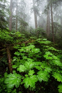 Some coastal temperate rainforest on a wet afternoon Whistler Canada  Social mikemarkov