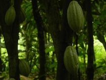 Some Cocoa Pods from Tetteh Quarshies Farm one of the oldest cocoa farms in the world