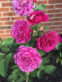 Some gorgeous roses in Abingdon VA They smelled heavenly