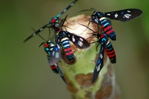 Some type of beautiful wasp Solomon Islands