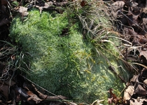 Some uncommon Arkansas moss