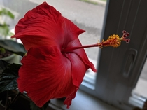 Someone pointed out this could be posted here My hibiscus is full bloom this is the first of its ten incoming flowers