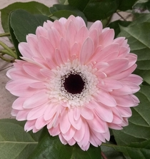 Someone said this ever so perfect gerbera would be appreciated here I came across it yesterday while needing something pink for a floral arrangement