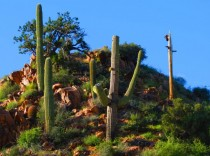 Sonoran Desert Saguaros in Arizona
