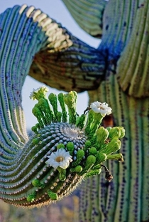 Sonoran saguaro Carnegiea gigantea starting to bloom